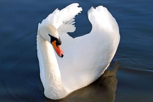 New York state senator calls for ban on swan cull