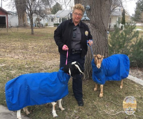 Snuggie-clad goats found wandering Idaho neighborhood