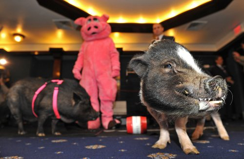 McDonald's calls for humane pig treatment