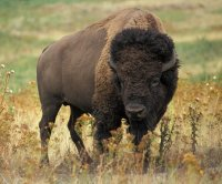 Escaped buffalo evades capture in Kentucky