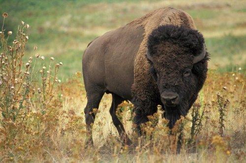 Escaped buffalo evades capture in Kentucky