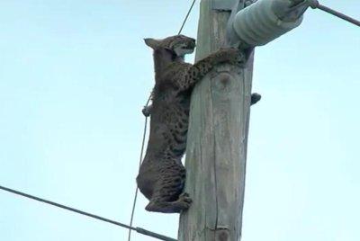 Bobcat perches atop electrical pole next to Florida highway