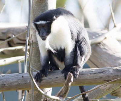 Monkey escapes enclosure at Irish zoo