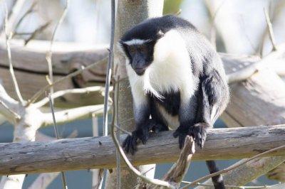 Monkey escapes enclosure at Irish zoo