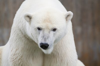 Town cancels trick-or-treating due to polar bears