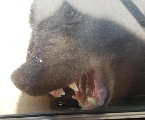 Bear punched in the face after following 2-year-old into house