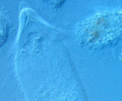 Trio of long-haired microbe species named for members of the band Rush