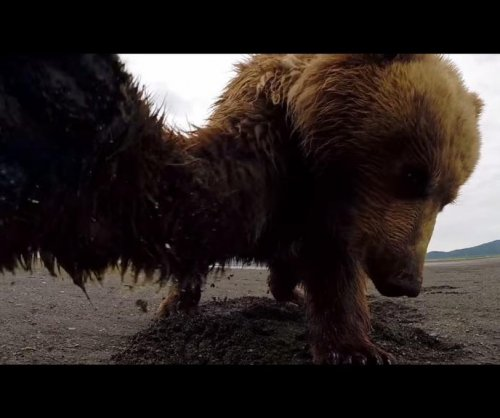 Alaskan grizzly bear takes a swipe at GoPro camera