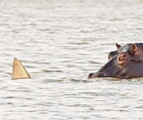 Curious shark chased away by pod of angry hippos