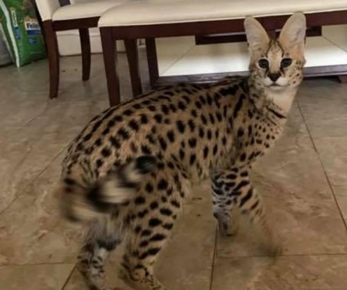 Exotic African serval cat on the loose in Alabama