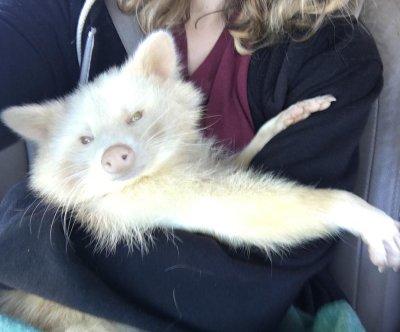 'Aggressive' albino raccoon turns 'loving' at Georgia sanctuary