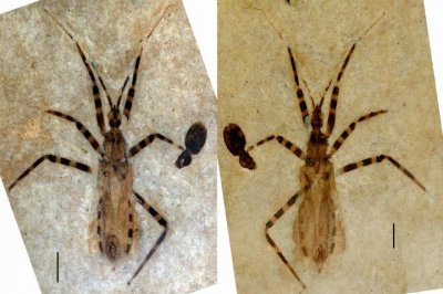 50-million-year-old assassin bug fossil features near-perfectly preserved genitalia