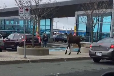 Loose moose wanders parking lot at Newfoundland airport