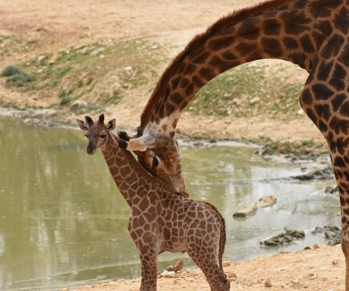 Nations approve greater protections for world giraffe population