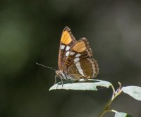 Study finds fewer butterflies in landscapes of the American West