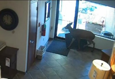 Video: Deer runs buck wild through furniture store