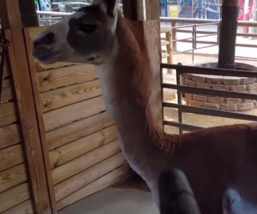Llama loves the leaf blower breeze in zoo's cute video
