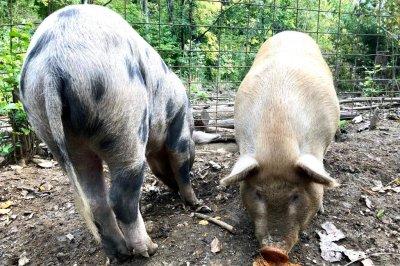 U.S. will begin testing hogs for African swine fever