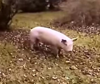 Loose pig leads deputies on chase around Ohio yard