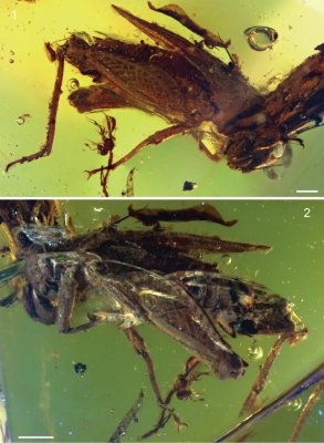 Ancient cricket found in neglected primeval amber