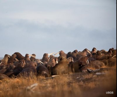 Shrinking sea ice forces Alaskan walruses inland