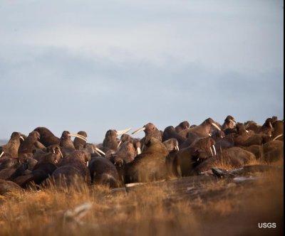 Shrinking sea ice forces Alaskan walruses inland