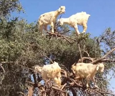 Acrobatic goats climb branches of Argan tree in Morocco