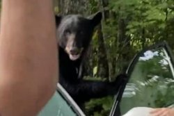 Tennessee man frees trapped bear from inside his car