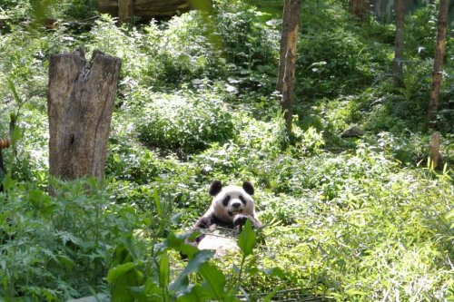 Panda conservation offers broad ecological benefits, research shows