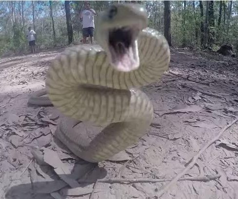 Deadly eastern brown snake filmed attacking camera