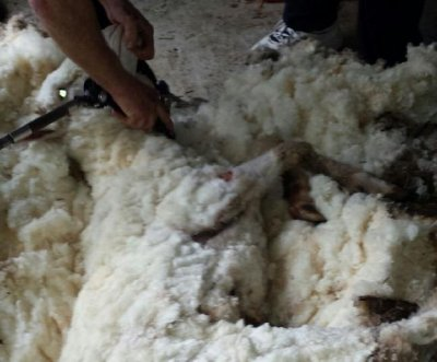 Australia's overgrown sheep sheds 89 pounds of wool