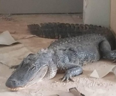 Uninvited alligator removed from Louisiana living room