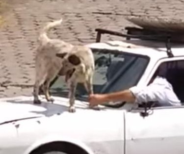 Dog stops pickup truck from leaving by jumping on hood