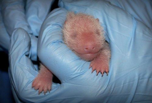 National Zoo's newborn panda cub gets quick medical check