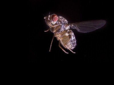 Fruit flies demonstrate the futility of fly swatting