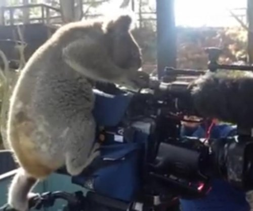 Koala takes over news camera duties at Australian zoo