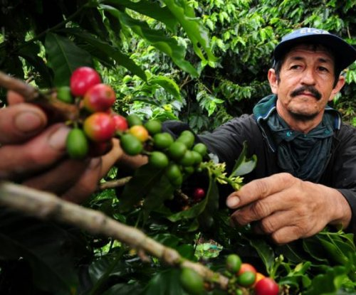 Study shows impact of global warming on coffee production
