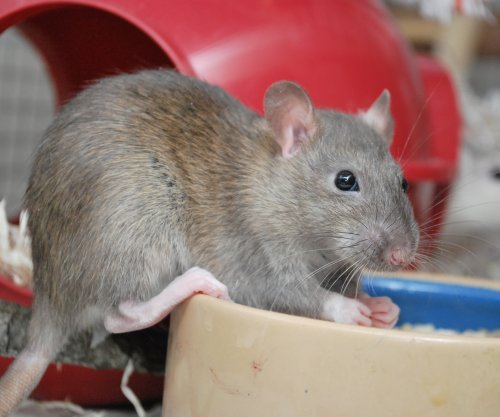 Seoul virus raises concern as it emerges in pet rats in United States