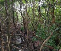 Diverse mangrove forests store more carbon