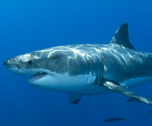 Massive great white shark attacks Aussie surfer, swims off with leg