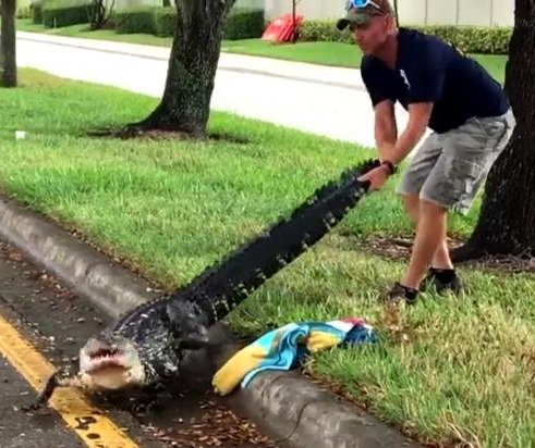 'Gator Boys' star captures injured alligator on Florida road