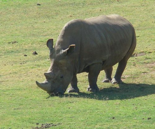 Test tube likely last hope for dwindling white rhino species