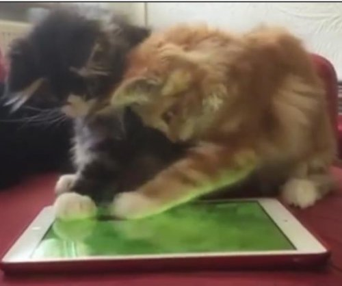 Adorable video show kittens getting the slip by a digital mouse