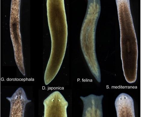 Scientists induce flatworms to grow head, brains of other species
