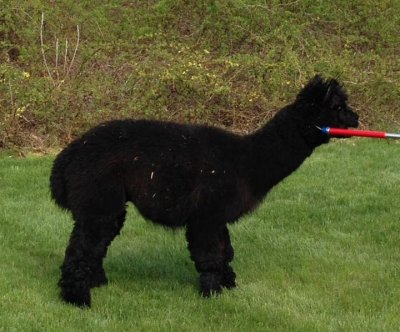 Loose alpaca captured in Massachusetts