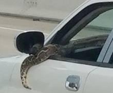 Large python hangs out car window on Houston highway