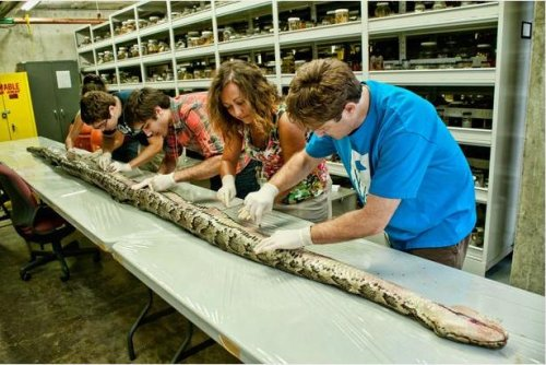Record-size python in Fla. yields 87 eggs
