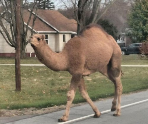 Camel escapes from Ohio yard, wanders through town