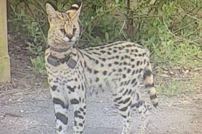 Look: Officials trying to capture exotic African cat in