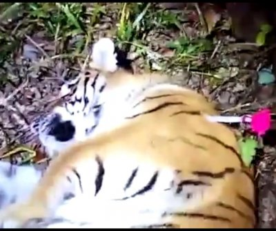 Siberian tiger captured after multiple sightings in Russian city